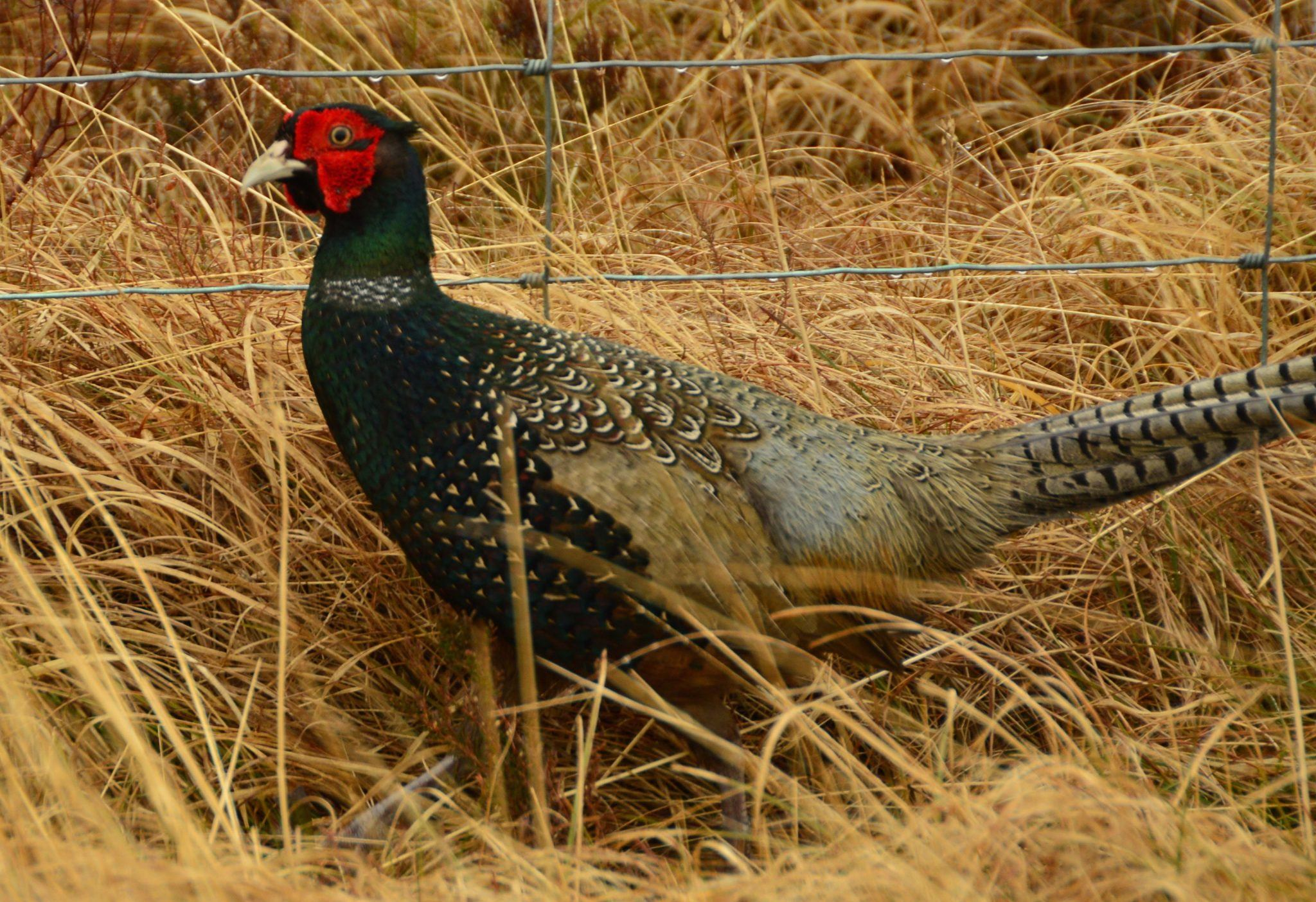 Pheasant bird in hay in Scotland