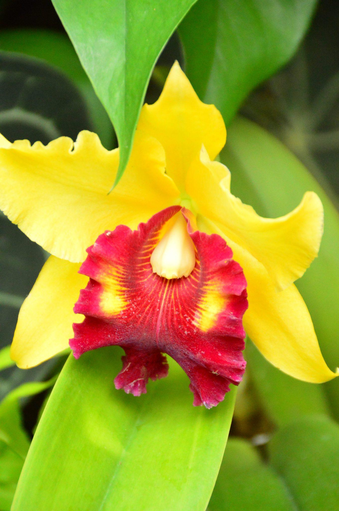 yellow and red orchid in the singapore botanic gardens