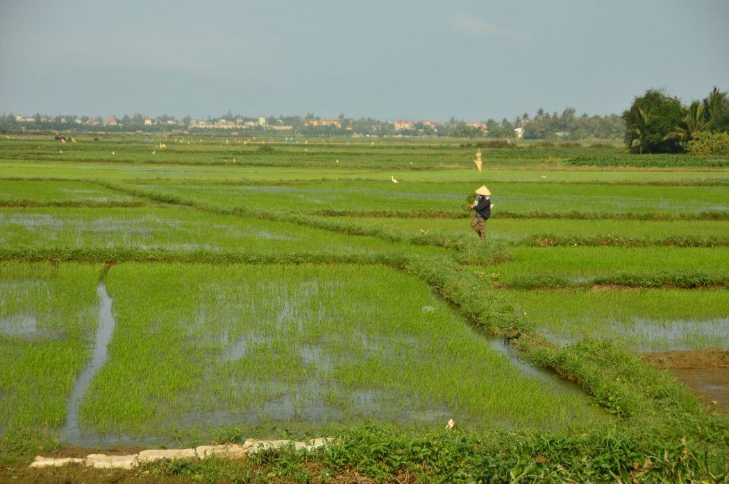 man in rice paddy field in hoi an vietnam