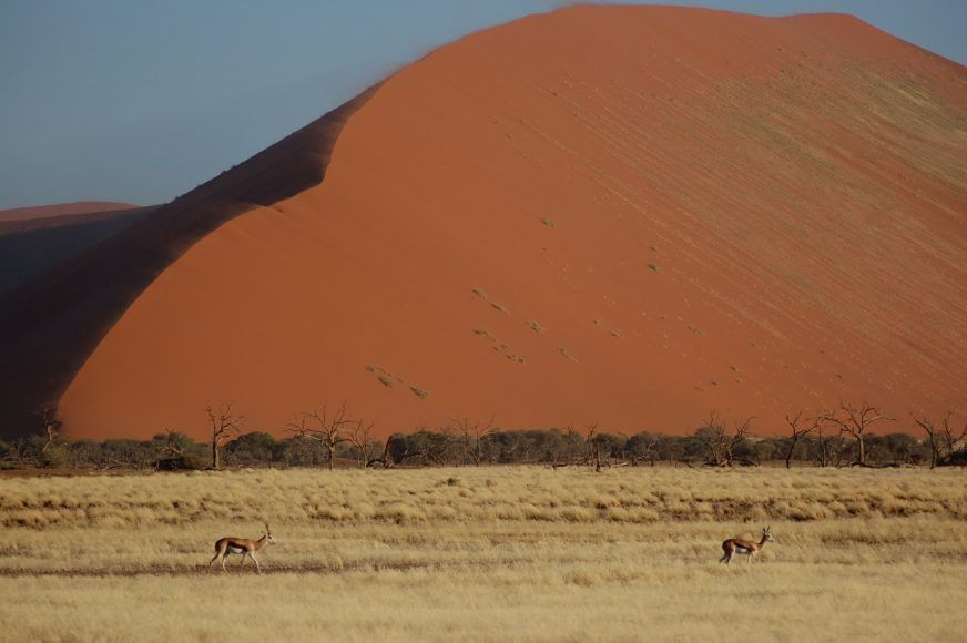 Tiny Springbok against the dunes