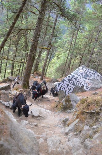 yaks trekking past trees and rock with nepalese writing