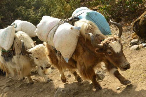 yaks carrying sacks on the everest base camp trek