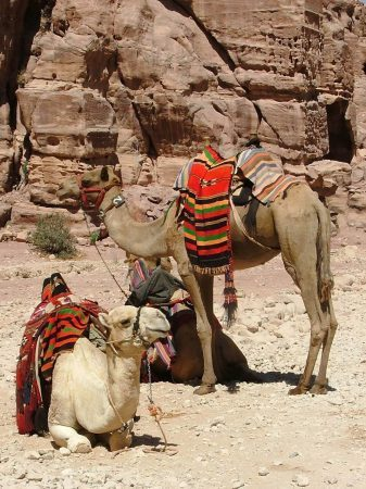 The Camels of Petra