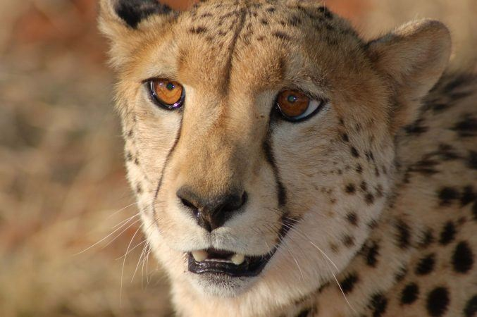 Up close with a cheetah