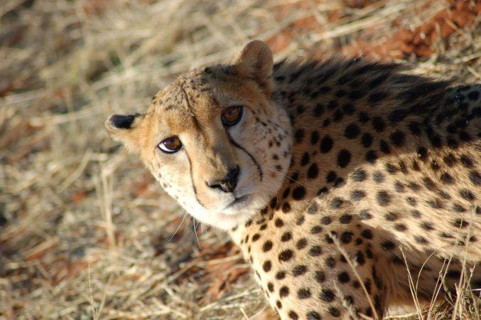 A mournful Cheetah