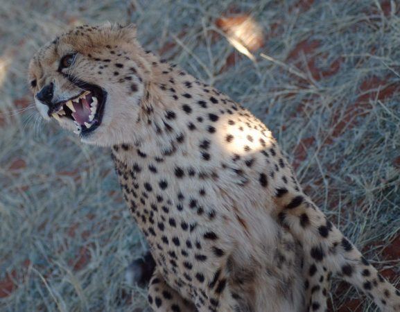 Slightly scary teeth on this Cheetah