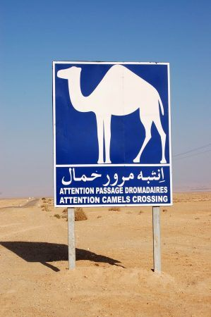 Camel crossing