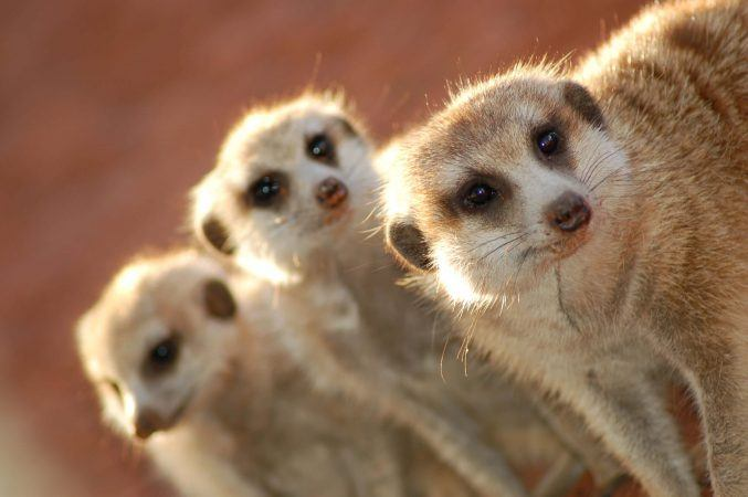 Friendly little meerkats