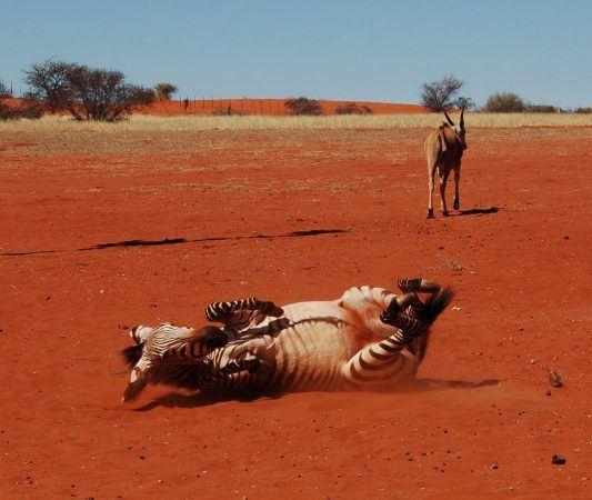 Love a crazy zebra!