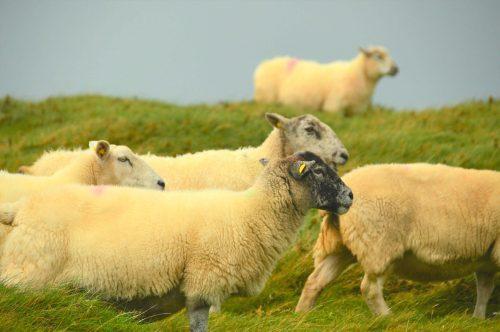 multiple sheep on grass dingle peninsula ireland