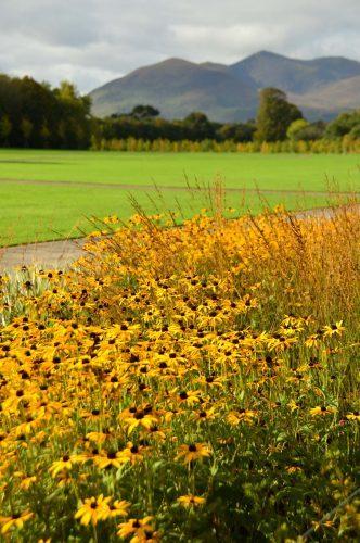 yellow flowers in the garden at killarney house killarney ireland