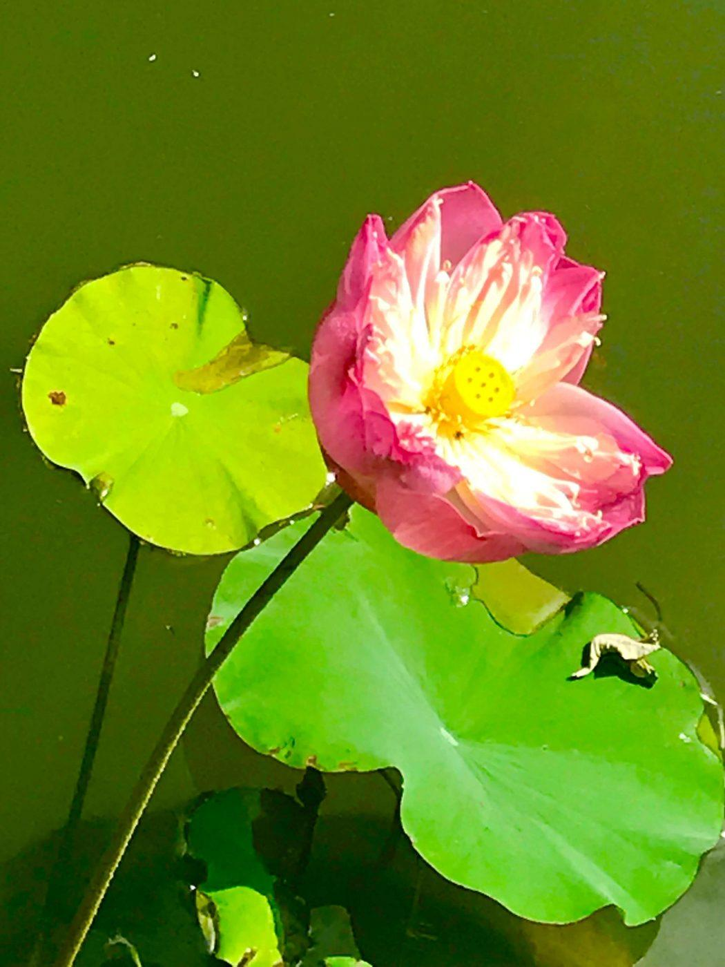 pink flower and lily pad up close