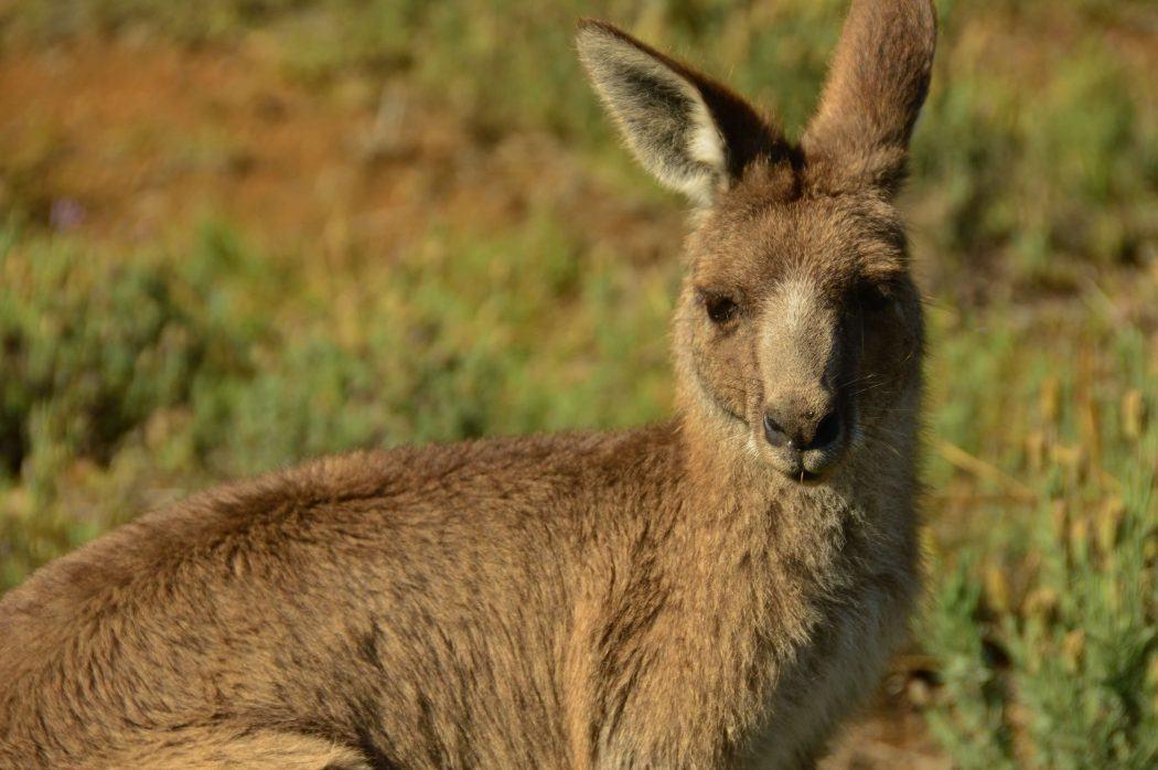 close up of a kangaroo