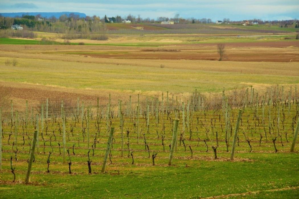 Wolfville vineyards