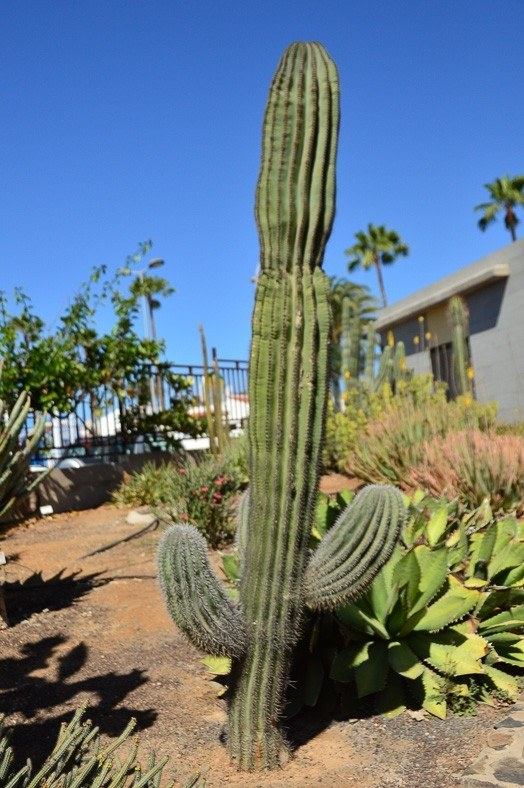 A cactus in the botanical garden - one of the many things to do in maspaloma gran canaria