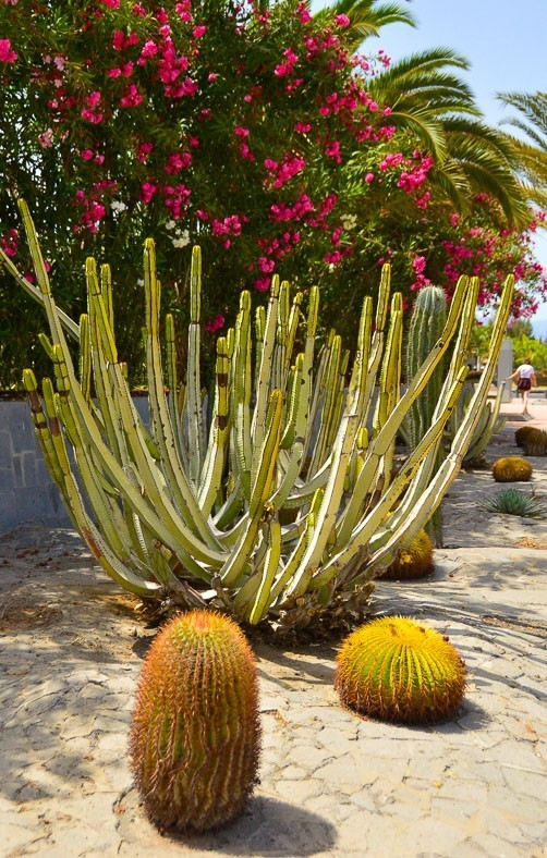 different types of cactus and flowers in maspalomas gran canaria