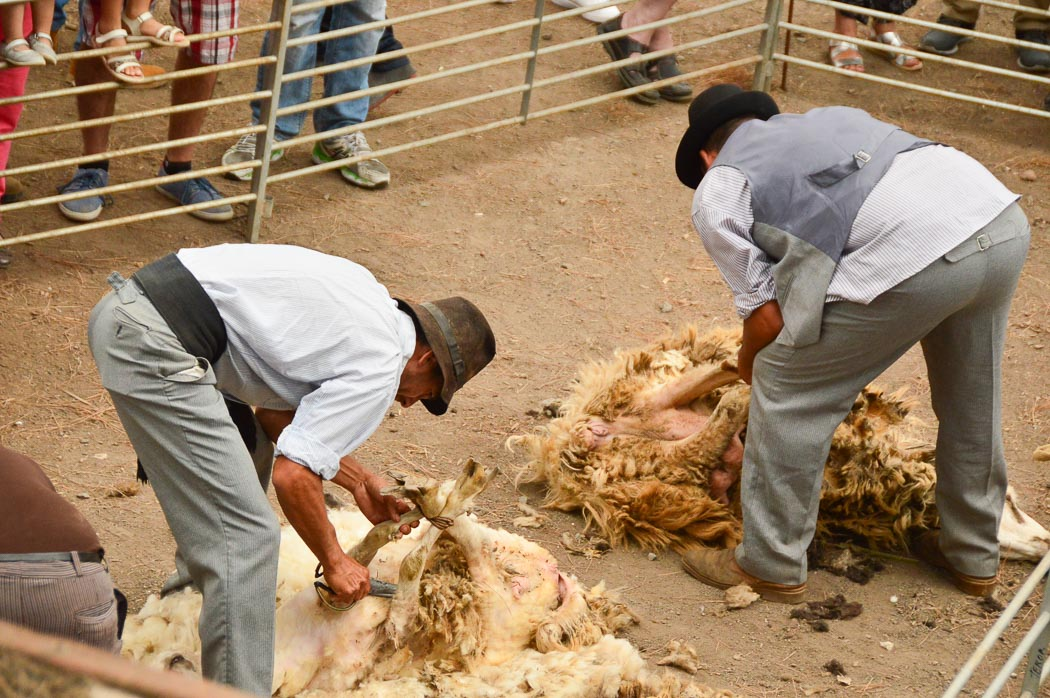 Two men sheering two sheep at the Teror market Gran Canaria