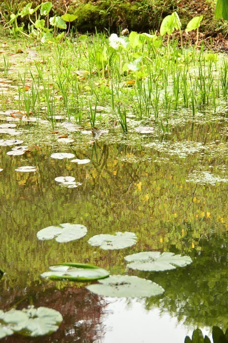 pool of water with lillies in scotland