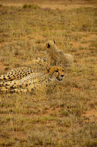 cheetahsonsafari