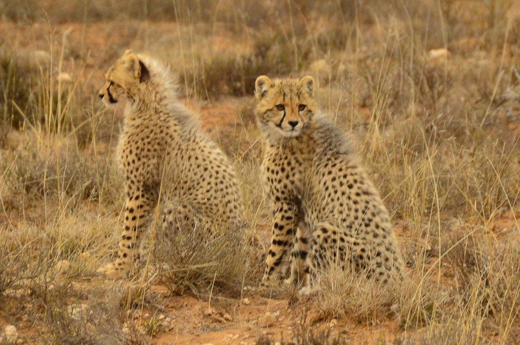 two cheetah cubs on the savanah