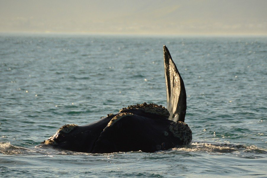 Fin on a Southern Right Whale in Hermanus
