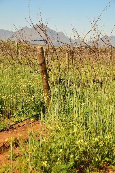 stellenbosch vineyards up close