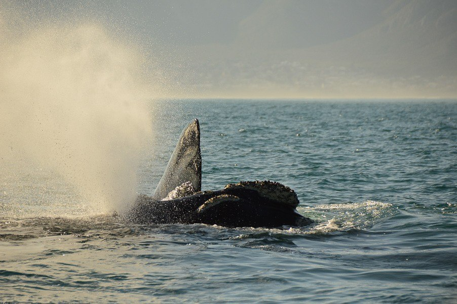 whale blowing in the sea