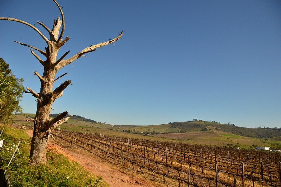 vineyards and gentle hills and a tree which can be seen on wine tours stellenbosch