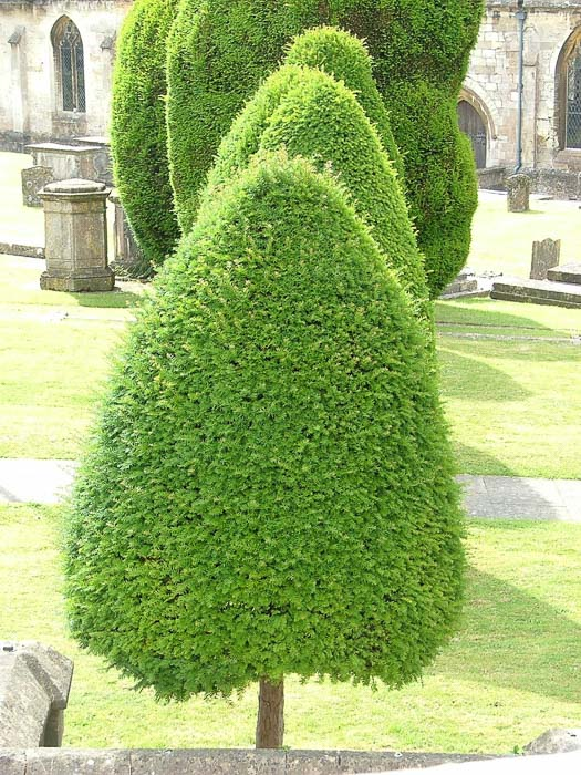 Yew Trees in Painswick