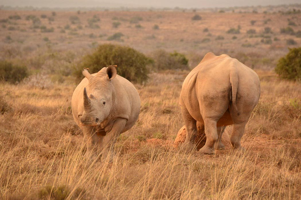 one rhino facing forward and one rhino facing backwards