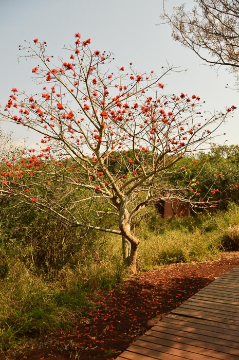 an african tree with red leaves