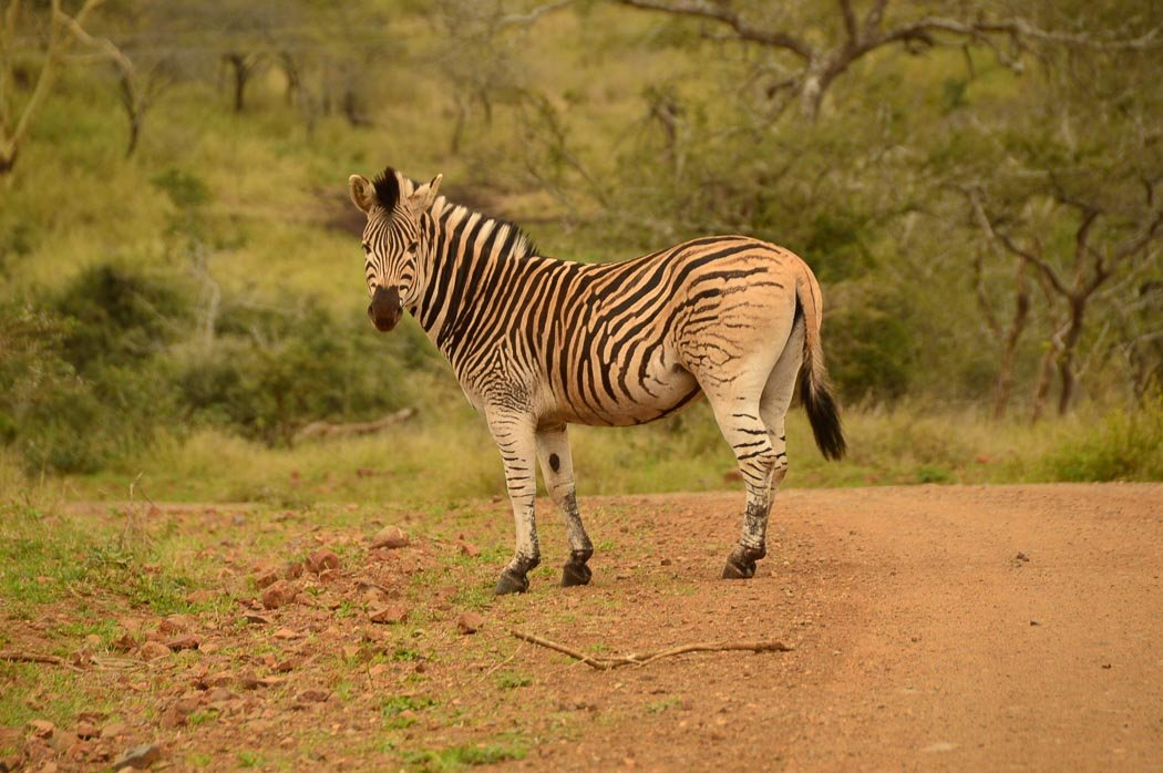 a zebra stands on a track at Thanda Safari Resort