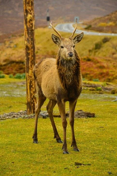 Deer in the scottish highlands