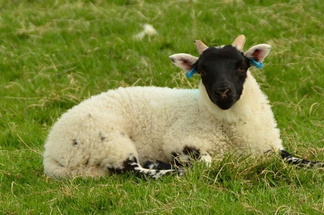sheep sitting down with a black face in Scotland