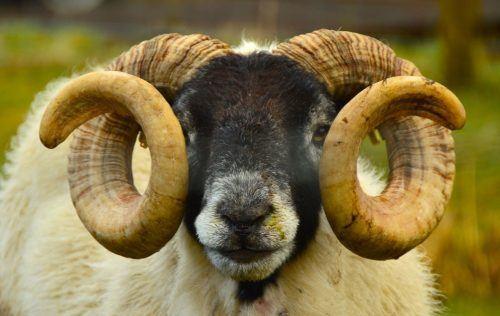 scottish ewe up close