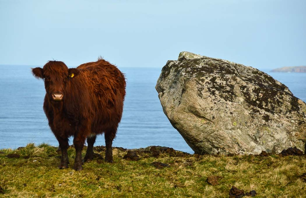 A Highlands Cow