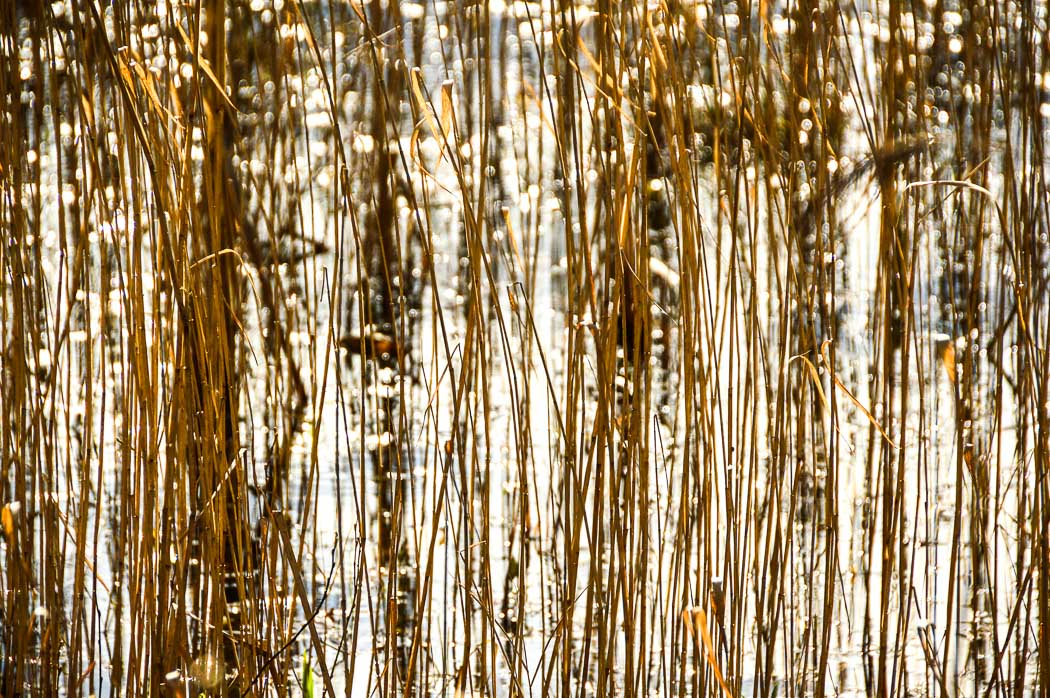 Reeds in Parc Slip Nature Reserve South Wales