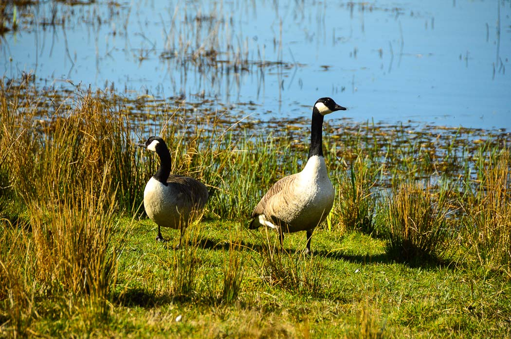 ducks on grass at parc slip nature reserve