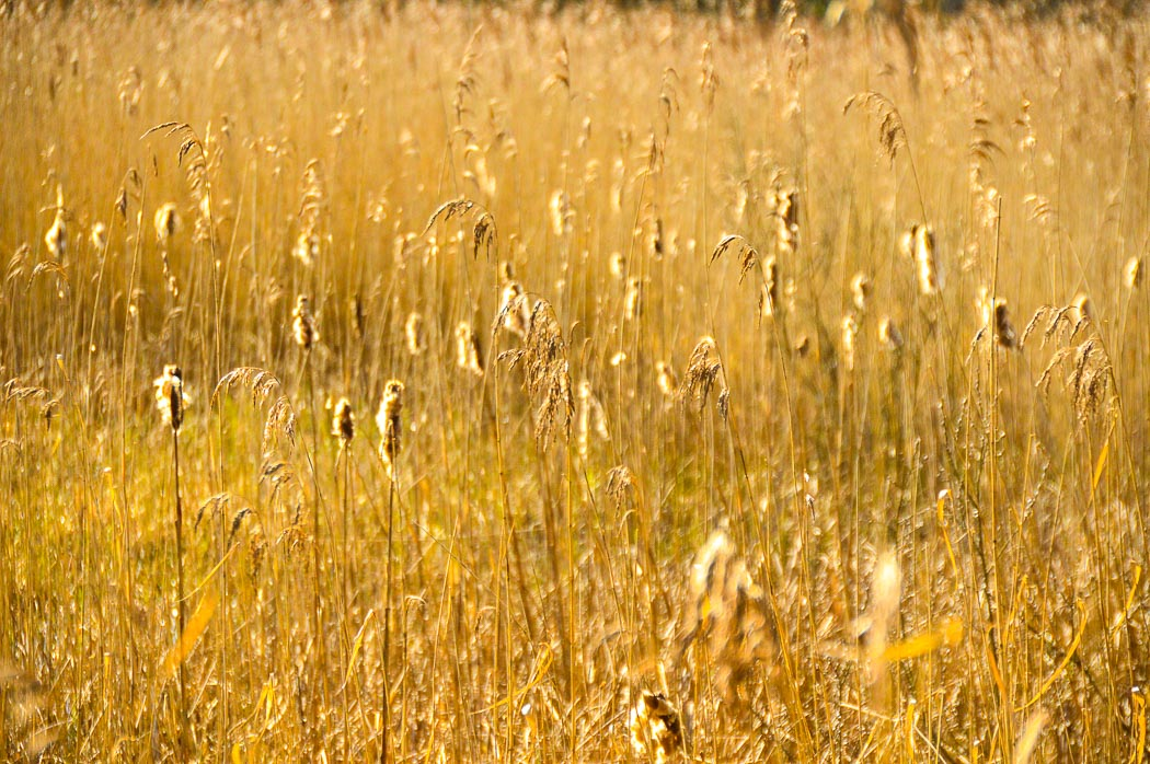 top 10 places to visit in south wales - golden fuzzy grass at Parc Slip Nature Reserve