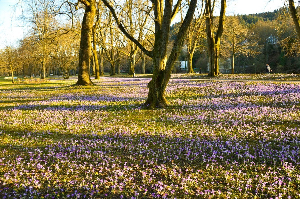Trees and purple flowers on the grass on Lichtentaler Allee Baden Baden