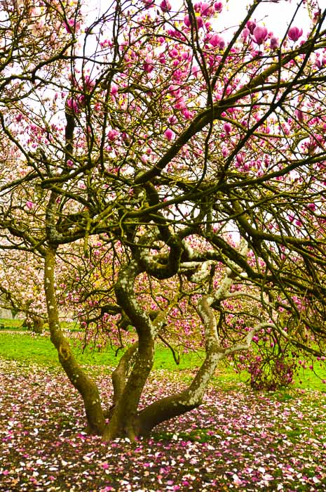 bute-park-tree-with-pink-blossoms