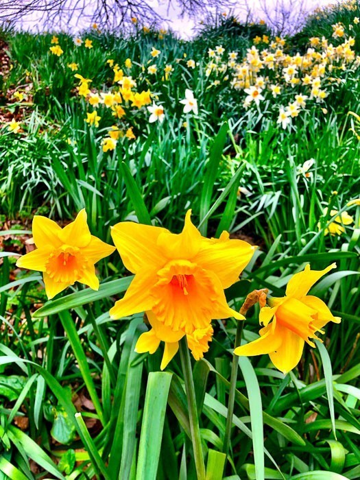 daffodils-cardiff-castle