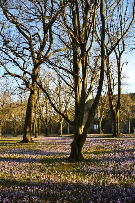 Trees without leaves and grass with purple flowers on Lichtentaler Allee