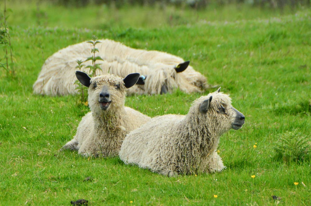 england_yorkshire-sheep