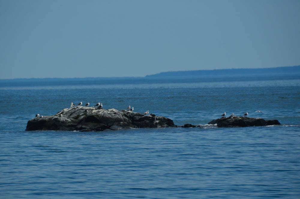 canada_new-brunswick_standrews-sea-birds
