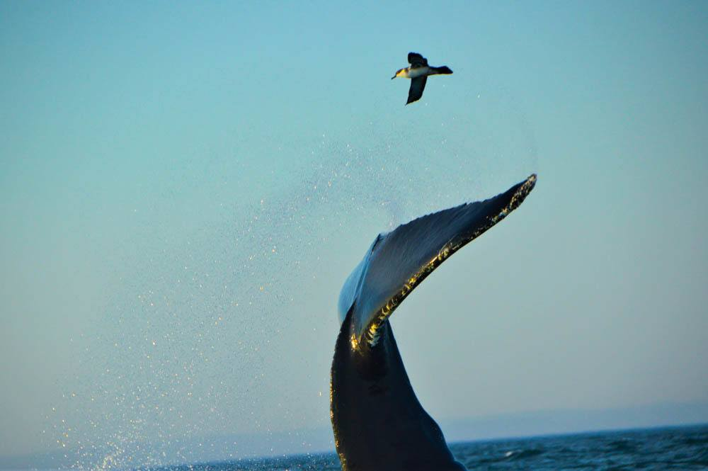 canada_new-brunswick_standrews-whale-humpack-tail-with-bird