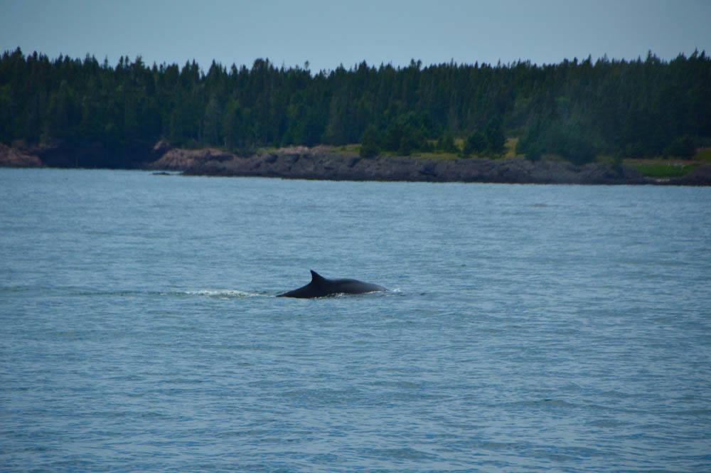 canada_new-brunswick_standrews-whale-watching-fin