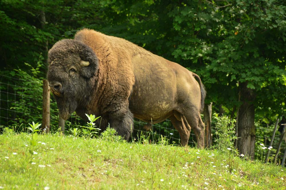 canada_ottawa_parc-omega-bison