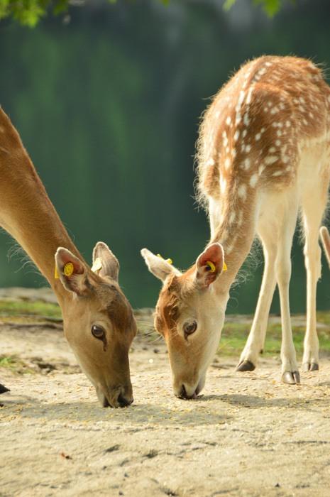 canada_ottawa_parc-omega-deer