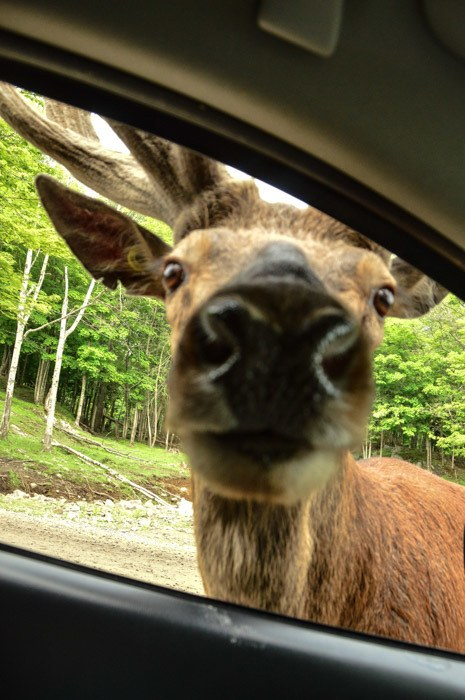 canada_ottawa_parc-omega-moose-in-car-window